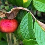 Red rosehip with green leaves
