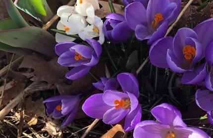 Purple and white spring crocuses with leaf debris below.